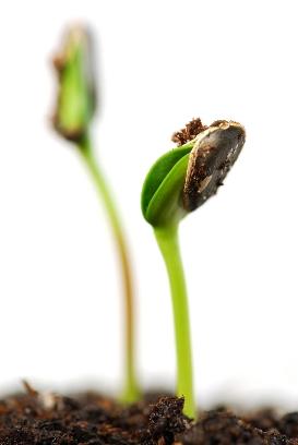 картинки росток подсолнуха